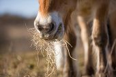 stock photo of horses eating  - A wild horse is eating dry grass - JPG