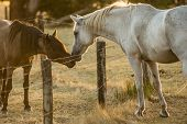 pic of brown horse  - A brown and a white horse show each other affection during sunset - JPG
