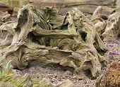 stock photo of driftwood  - A Large Decorative Piece of Weathered Driftwood.