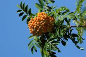 foto of ashes  - Mountain Ash berries and leaves againt blue sky - JPG