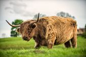 foto of windy  - A highland cow grazes in a green field on a windy spring morning - JPG