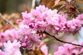 Постер, плакат: Prunus Serrulata Or Japanese Cherry