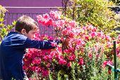 foto of azalea  - child cleans bush of pink azaleas on the terrace - JPG