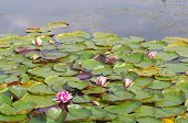 foto of day-lilies  - Water Lilies in sunlight on a warm spring day - JPG
