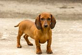 foto of dachshund dog  - dog of breed dachshund of a brown color - JPG