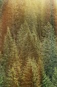 foto of ecosystem  - Healthy big green coniferous trees in a forest of old spruce fir and pine trees in wilderness area of a national park lit by bright golden sun glow - JPG