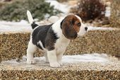 pic of puppy beagle  - Beautiful beagle puppy on the garden in winter - JPG