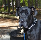 stock photo of great dane  - Black Great Dane with his eyes barely open at a forested campground - JPG