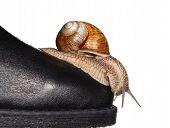pic of mollusca  - Macro of garden snail  - JPG