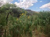 stock photo of barbed wire fence  - Flowering sunflowers in the desert with old barbed wire fence in the background - JPG