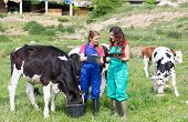 foto of calf cow  - Veterinary on a farm performing a physical examination in a cow - JPG