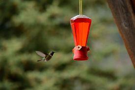 foto of hummingbirds  - A hummingbird flies  towards a hummingbird feeder - JPG