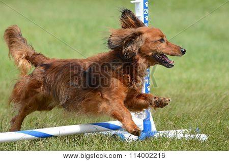 Miniature Dachshund At A Dog Agility Trial
