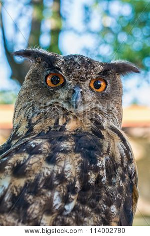Portrait Of A Euroasian Eagle Owl