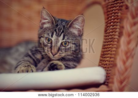 Portrait Of A Striped Domestic Kitten On A Wicker Chair