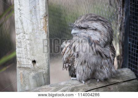 Tawny Frogmouth (podargus Strigoides) - Full Body