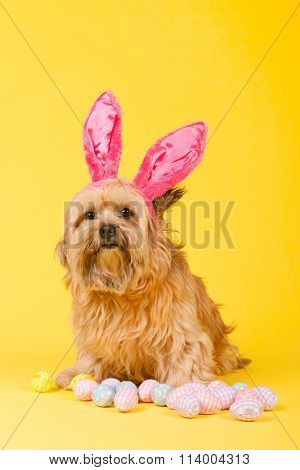 Dog as easter hare with eggs on yellow background