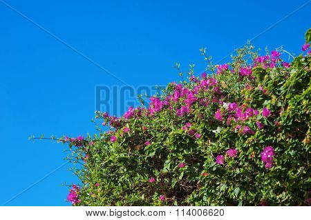 Bougainvillea Flowers Exotic Background Of The Sky