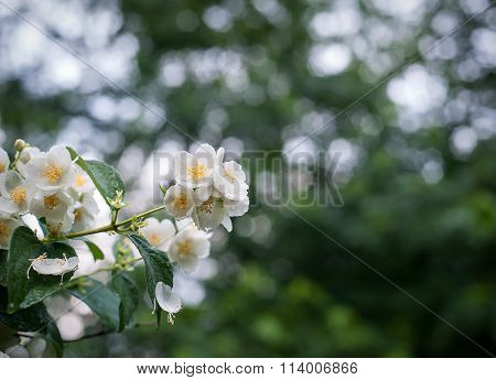 Spring Flowers With Dew Jasmine Closeup