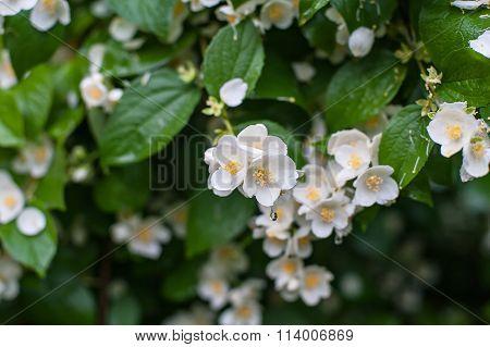 Spring Flowers With Dew Jasmine