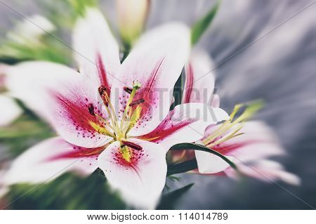 Beauty lily flower abstract natural backgrounds for your design