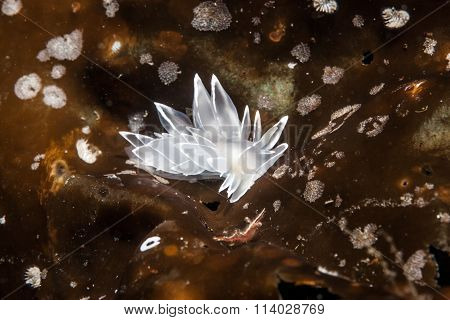 Nudibranch at British Columbia