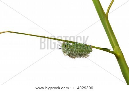 Fagara Silkworm On Branches Isolate On White Background