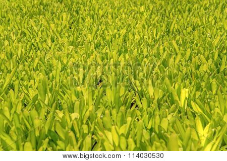 Green Leaf In Agricultural Farm For Background