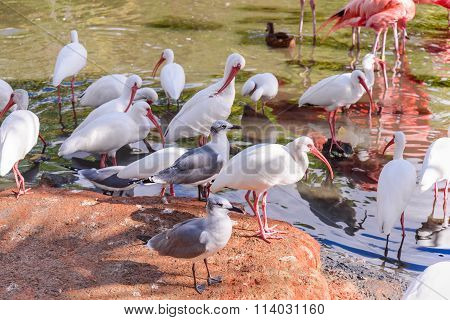 The Seagull And White Ibis Birds