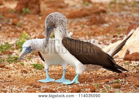 Blue-footed Boobies Mating On North Seymour Island, Galapagos National Park, Ecuador