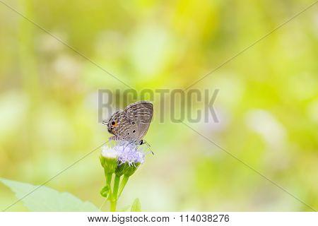 Plain Cupid Butterfly