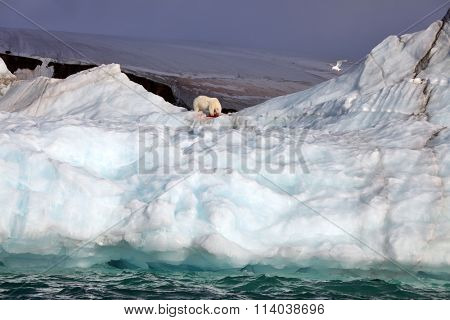 Polar bear on iceberg with its prey