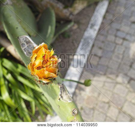 Flower Of Opuntia Ficus