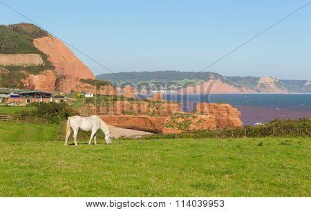 White pony and sandstone coast Ladram Bay beach Devon England UK