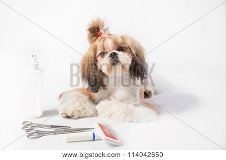 Well Groomed Shih-tzu Puppy - Isolated