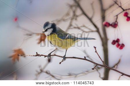Cyanistes caeruleus on the branch