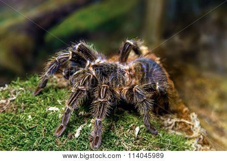 Exotic Animal Spider Theraphosa Blondi