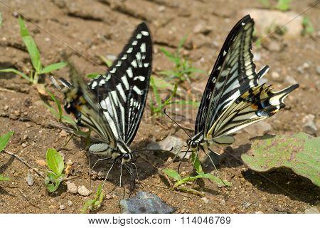Butterflies (papilio Xuthus)