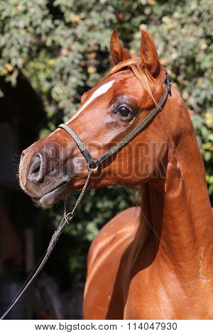 Side View Portrait Of A Beautiful Arabian Stallion At Farm