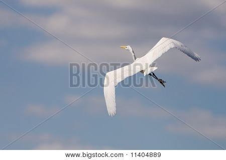 White Great Egret In Flight