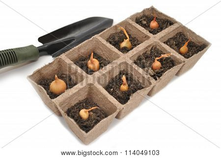 Onion Bulbs Planted In Peat Pots With A Spade