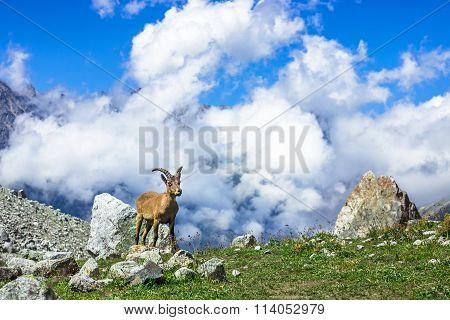 West Caucasian Tur - Lat. Capra Caucasica