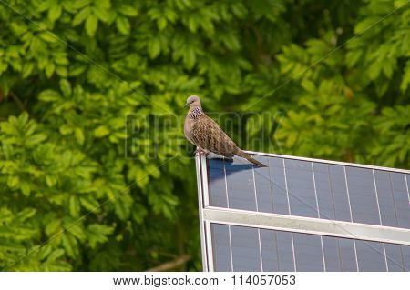 Spotted Dove (Streptopelia chinensis) on the solar panel.