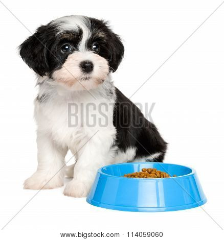 Cute Havanese puppy sitting next to a blue food bowl