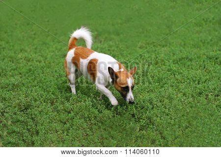 Dog Walking On The Grass
