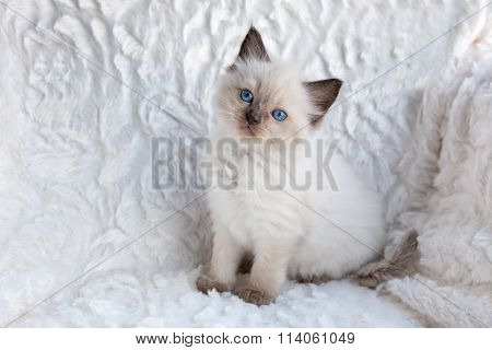 One Young Ragdoll Cat Sitting On Fur In Chair