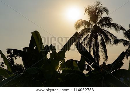 Silhouetted Coconut And Banana Trees Back-lit With Flow Sunlight