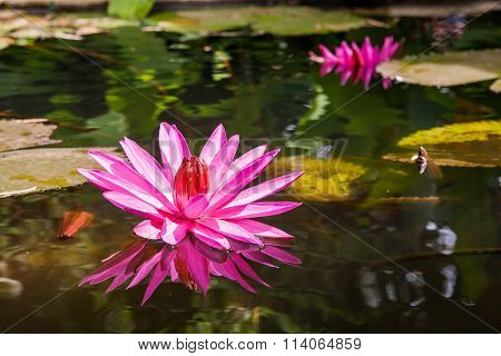 Lotus (nymphaea). Pond With Bright Pink Flowers. Cambodia.
