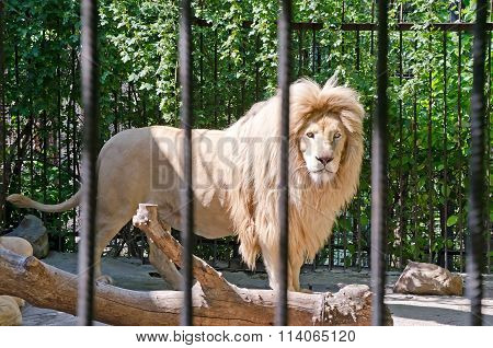 Lion In A Cage In Yalta Zoo