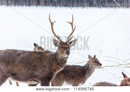 A Large Herd Of Sika Deer Standing In The Woods In Winter.